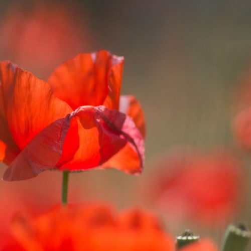 print-fine-art-poppy-flowers-nature